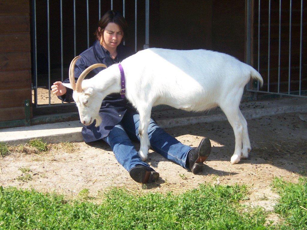 Sally healing Snowy the goat